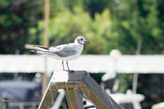 Common gull Stock Images