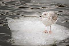 Common gull - seagull on ice floe stock photo