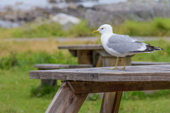 Common gull. Sit on the table, Lofoten Islands, Noway Royalty Free Stock Photos