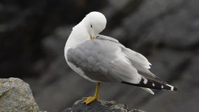 Common gull stock footage