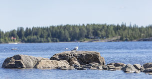 Common Gull Standing on Rock By Sea Royalty Free Stock Photo