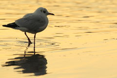 Common gull Stock Photography