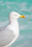 Common gull staring out over turquoise water Royalty Free Stock Photography
