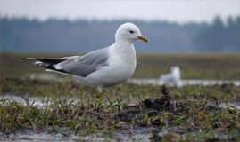 Common Gull walks on the moist ground in the rain stock photos