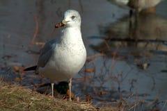 Common Gull. Winter Park Lake Water Bird Royalty Free Stock Image