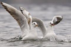Common gulls Stock Photography