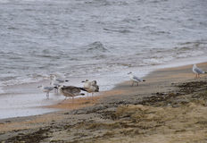 Common gulls on the beach. Seagulls looking for food royalty free stock photography