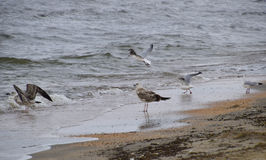 Common gulls on the beach. Seagulls looking for food Stock Image