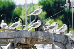 Common gulls Stock Image