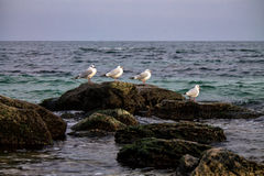 Common gulls sittiing on rocks Royalty Free Stock Photography