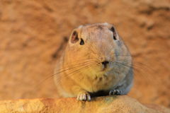 Common gundi Royalty Free Stock Images