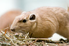 Common Gundi Royalty Free Stock Image
