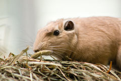 Common Gundi Royalty Free Stock Photo