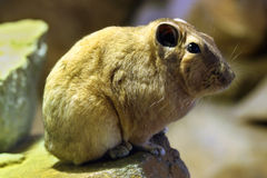 Common gundi (Ctenodactylus gundi). Stock Images