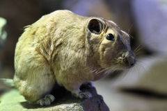 Common gundi (Ctenodactylus gundi). Royalty Free Stock Image