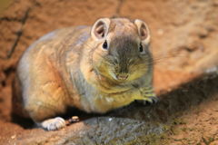 Common gundi Stock Photo