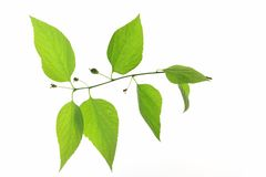 Common hackberry  (Celtis australis) Royalty Free Stock Images