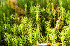 Common Hair Cap Moss in the forest stock images