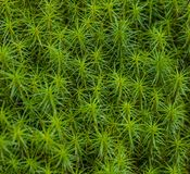 Common hair moss Stock Image