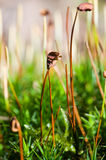 Common haircap moss Stock Images