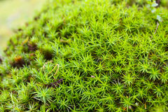 Common haircap moss, star moss (Polytrichum commune) Royalty Free Stock Photography