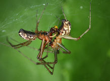 Common hammock-weaver spiders mating Royalty Free Stock Photography