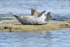 Common or harbor seal resting on rocks stock images