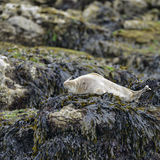 Common Harbor Seals Phoca Vitulina relaxing on rocks in Anglesey. Beautiful Common Harbor Seals Phoca Vitulina relaxing on rocks in Anglesey Wales Stock Image