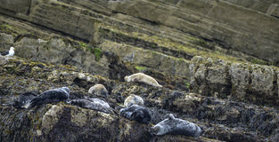 Common Harbor Seals Phoca Vitulina relaxing on rocks in Anglesey. Beautiful Common Harbor Seals Phoca Vitulina relaxing on rocks in Anglesey Wales Stock Photography