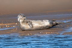 Common or Harbour Seal - Phoca vitulina resting on a sandy beach. Common or Harbour Seal - Phoca vitulina, resting on a sandy Norfolk beach at low tide late stock image