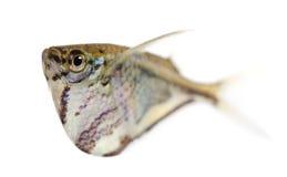 Common hatchetfish - Gasteropelecus sternicla Royalty Free Stock Photo