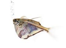 Common hatchetfish - Gasteropelecus sternicla Stock Photos