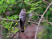 Common hawk-cuckoo. It is an adult bird. These birds are heard more and seen less. They call mostly during dawn and dusk from tree canopies. These birds closely Royalty Free Stock Photography