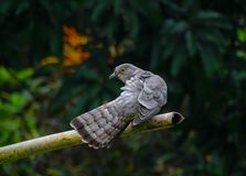 A common hawk cuckoo is cleanig her wings. royalty free stock photography