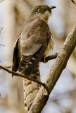 A common hawk cuckoo Stock Photography