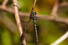 Common Hawker royalty free stock photo