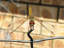 Common Hawker Dragonfly 1 Royalty Free Stock Photos