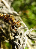 Common Hawker Dragonfly Royalty Free Stock Photography