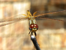 Common Hawker Dragonfly 2 Royalty Free Stock Images