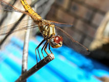 Common Hawker Dragonfly  Royalty Free Stock Photos