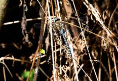 A Common Hawker Dragonfly stock photography