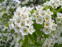 Common hawthorn. Close-up of hawthorn blossom Royalty Free Stock Image