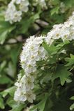 Common hawthorn crataegus monogyna shrub tree in bloom, wild white oneseed whitethorn blossom and leaves, blossoming flower heads royalty free stock images