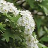 Common hawthorn crataegus monogyna shrub tree in bloom, wild white oneseed whitethorn blossom and leaves, blossoming flower heads stock photography