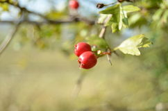 Common hawthorn fruits Stock Images