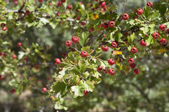 Common hawthorn Stock Image