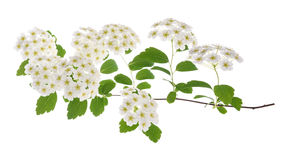 Common hawthorn or whitethorn Royalty Free Stock Images