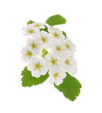 Common hawthorn or whitethorn Royalty Free Stock Photos