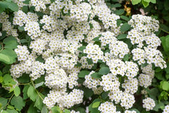 Common hawthorn or whitethorn Royalty Free Stock Photography