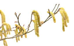 Common Hazel  branch with male catkins Stock Image